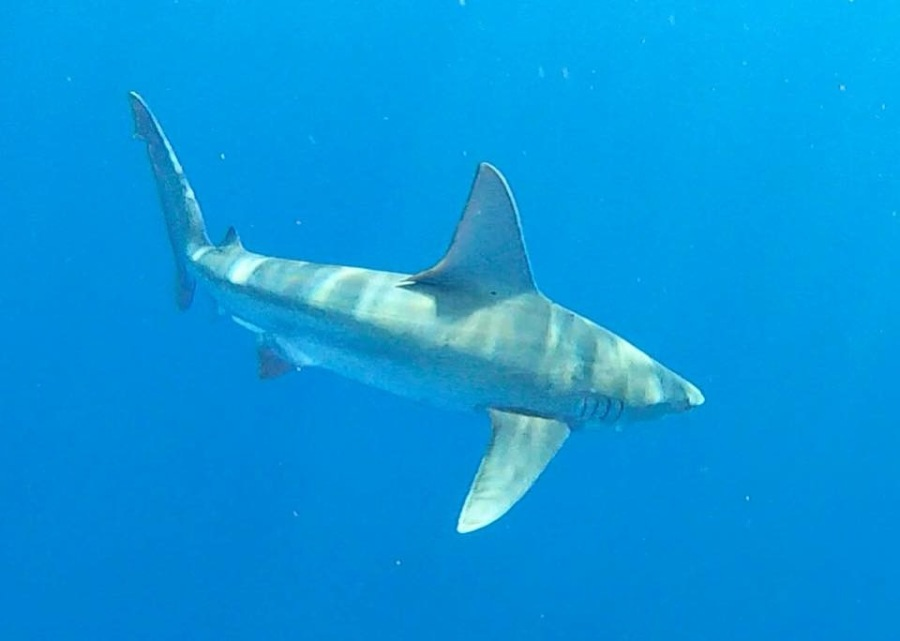 Shark Excursion- Oahu (UPDATED)
